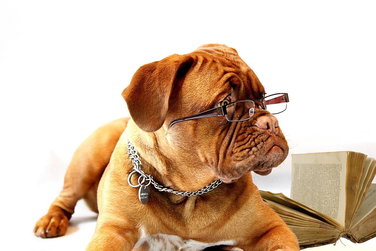 メガネをかけたフレンチブルドッグ